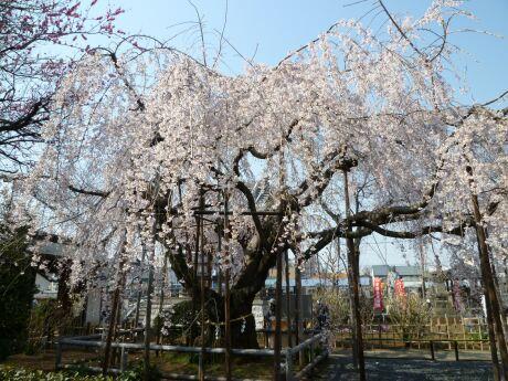 地蔵院の枝垂れ桜201102.jpg