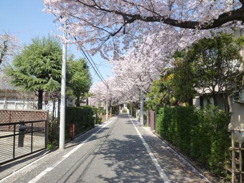 城南住宅の桜2.jpg