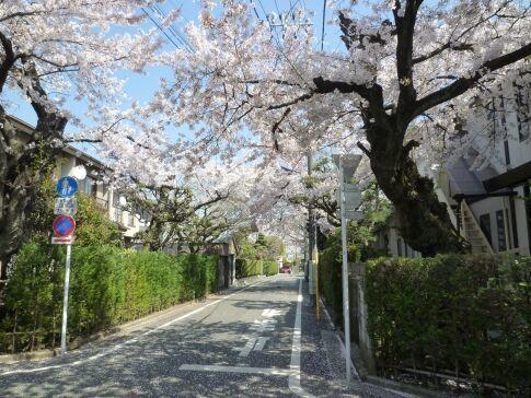 城南住宅の桜1.jpg
