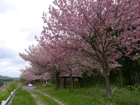 夏山塚公園の桜.jpg