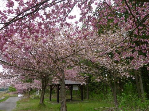 夏山塚公園の桜2.jpg