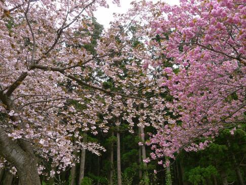 夏山塚公園の桜3.jpg