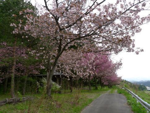 夏山塚公園の桜4.jpg