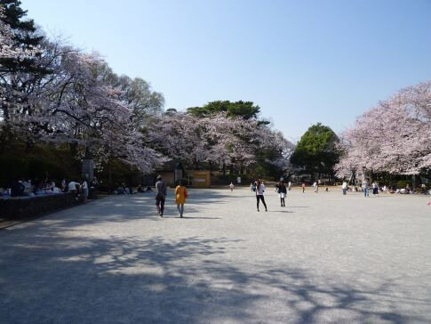 多摩川台公園の桜2.jpg