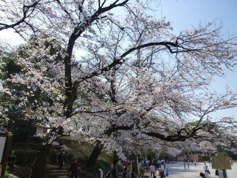 多摩川台公園の桜3.jpg