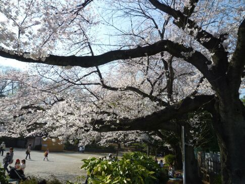 多摩川台公園の桜4.jpg