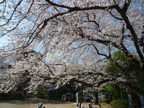 多摩川台公園の桜5.jpg