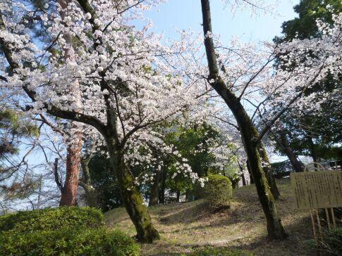 多摩川台公園の桜1.jpg