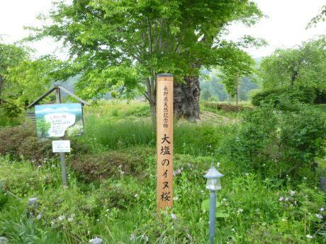 大塩のイヌ桜.jpg