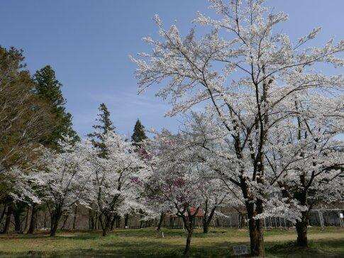 大島城址の桜2.jpg