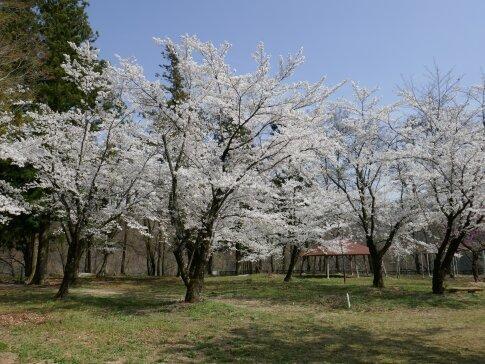大島城址の桜3.jpg
