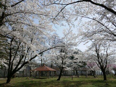 大島城址の桜4.jpg