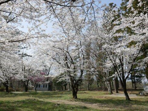 大島城址の桜5.jpg