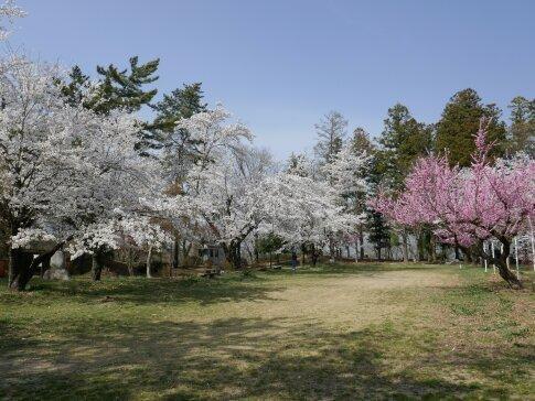 大島城址の桜6.jpg