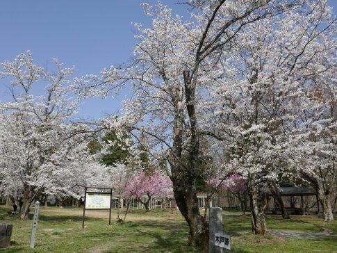 大島城址の桜7.jpg