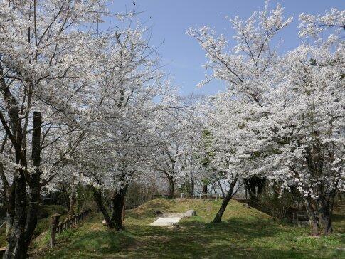 大島城址の桜1.jpg