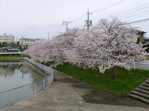 大池の桜3.jpg