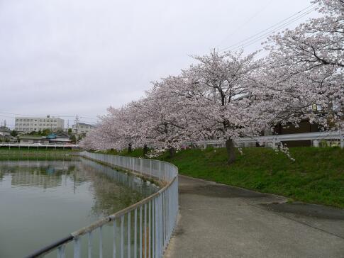 大池の桜4.jpg