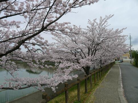 大池の桜2.jpg