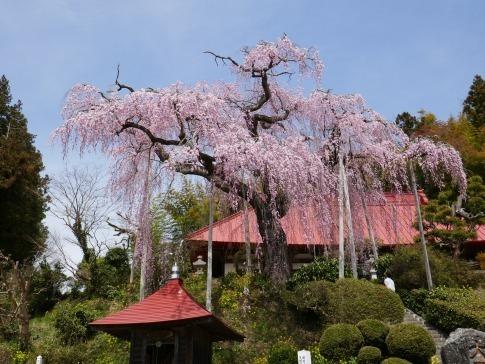 大聖寺のベニシダレ3.jpg