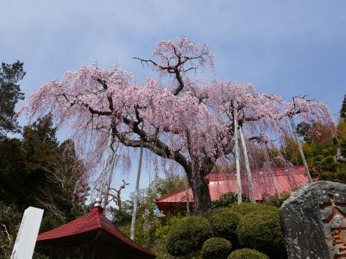 大聖寺のベニシダレ4.jpg