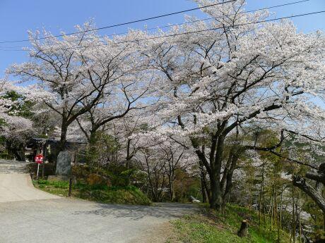 大蔵寺の桜2.jpg