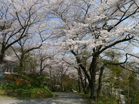 大蔵寺の桜3.jpg