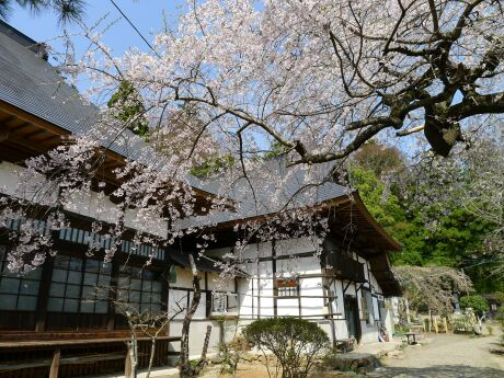 大蔵寺の桜5.jpg