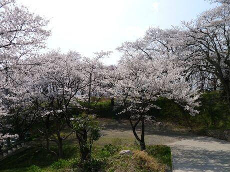 大蔵寺の桜1.jpg