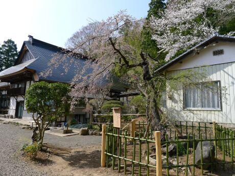 大蔵寺の稚児桜.jpg