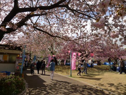 天平の丘公園の桜2.jpg