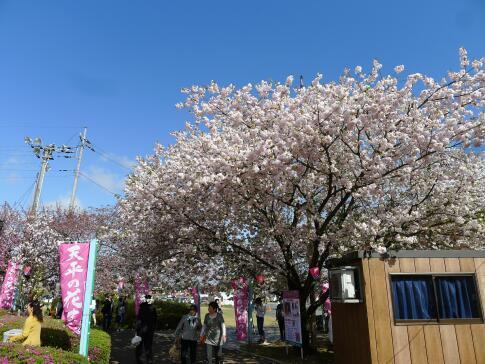 天平の丘公園の桜3.jpg