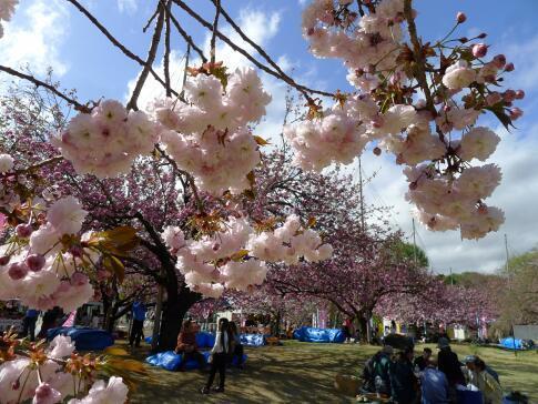 天平の丘公園の桜4.jpg