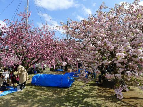 天平の丘公園の桜5.jpg