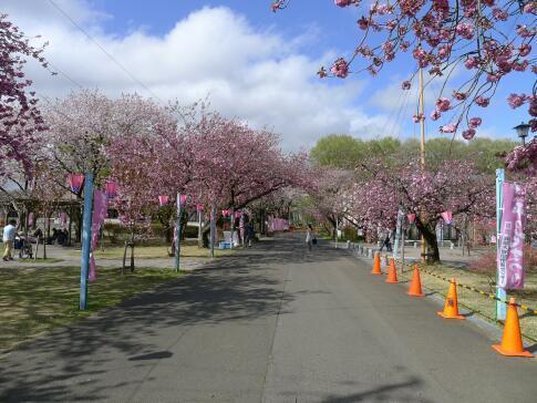 天平の丘公園の桜6.jpg