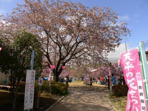 天平の丘公園の桜1.jpg