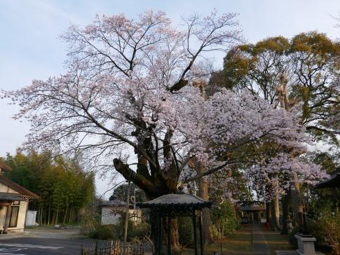 天応院の桜2.jpg