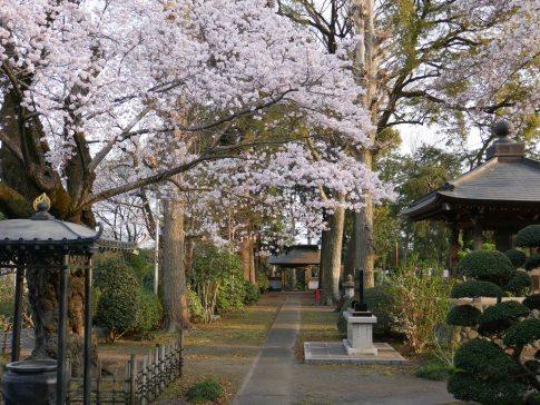 天応院の桜3.jpg