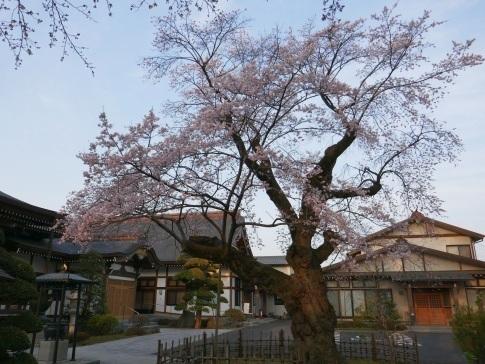 天応院の桜4.jpg