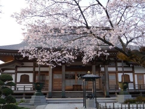 天応院の桜1.jpg