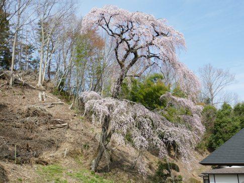 天澤寺枝垂れ桜2.jpg
