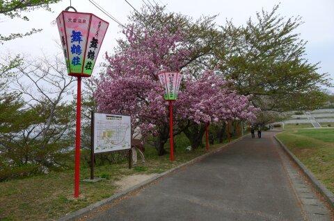 天童城 八重桜.jpg