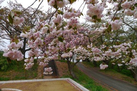 天童城 八重桜2.jpg