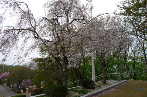 天童城 桜.jpg
