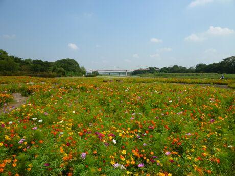 安比奈親水公園 コスモス3.jpg