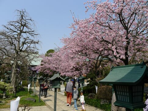 密蔵院の安行桜201502.jpg