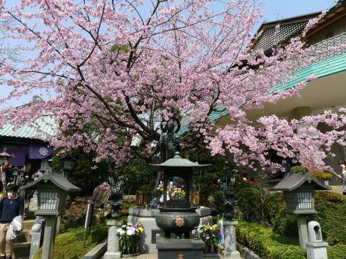 密蔵院の安行桜201503.jpg