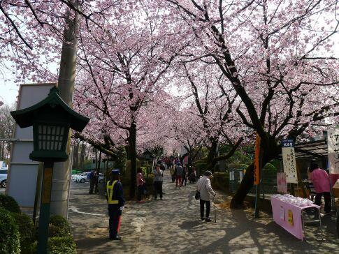 密蔵院の安行桜201504.jpg