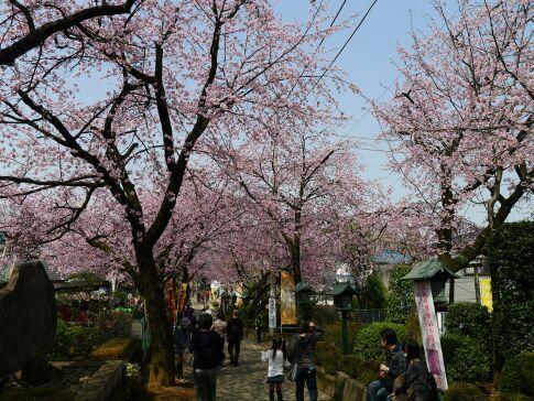 密蔵院の安行桜201505.jpg