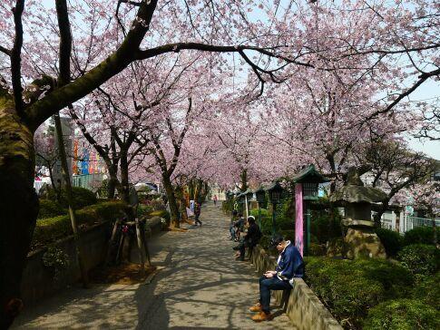 密蔵院の安行桜201506.jpg